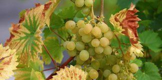 כל מה שלא ידעתם על שמן זרעי ענבים